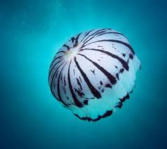 medusa jelly