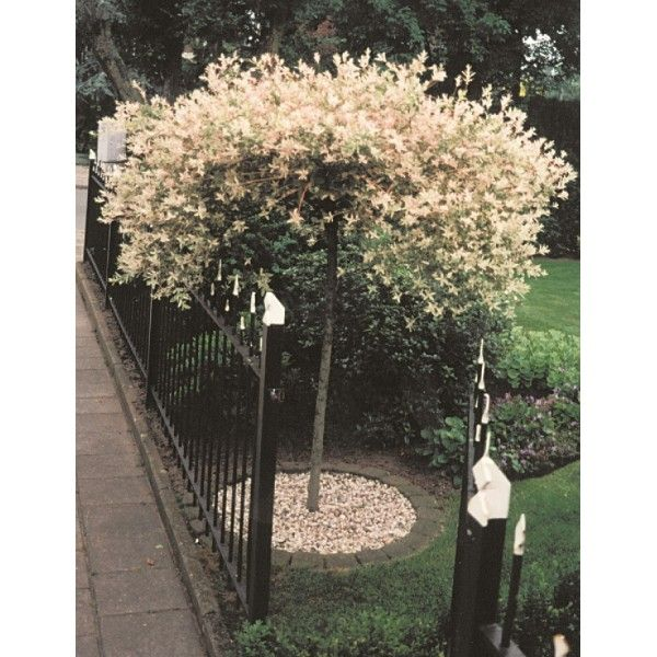 JAPANSK DVÄRGPIL träd 1-PACK - Horto Green AB