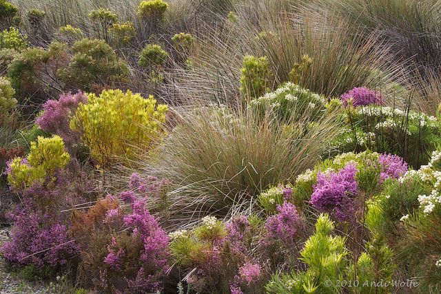 Fynbos at Silvermine Nature Reserve by andiwolfe, via Flickr