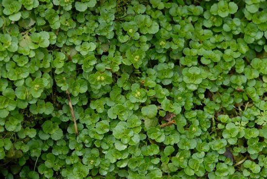 Foraging for Early Spring Greens: Some to Eat, Some to Avoid…