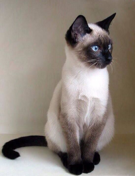 Siamese cat with gorgeous blue eyes
