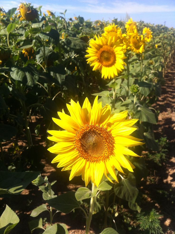 PIROSKA  - Fields of sunflowers in the summer.