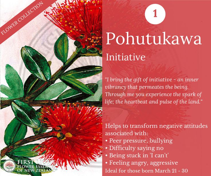 Pohutukawa - Initiative - helps to restore personal power. Ideal for those who want to stand up for themselves and not be led astray by stronger forces or exploited by those with a stronger personality. Assists in creating a shift from materiality to a holistic awareness. Helps to awaken the connection to the natural world and establish a communion with the power of nature. Personal power flower for those born Mar 21 - 30 (Aries).