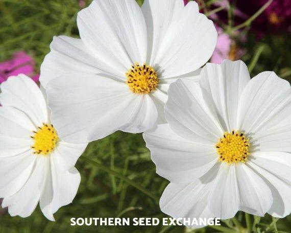 Cosmos Purity 100 Seeds Pollinator Friendly Cosmos Bipinnatus Sensation In 2020 Seeds Plants Cosmos