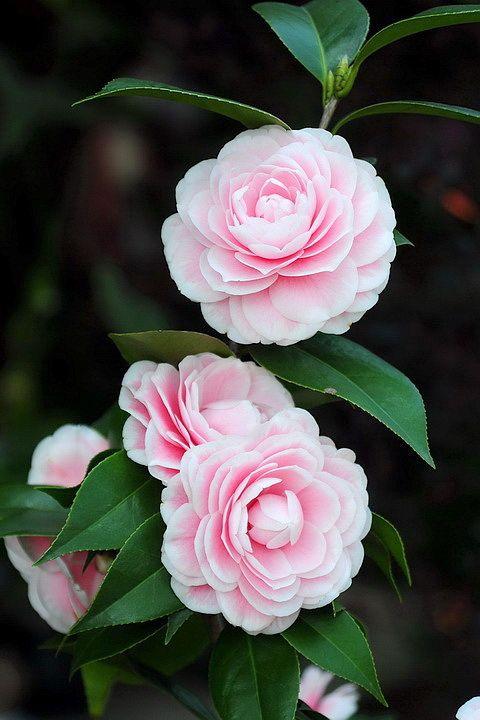 茶花 粉丹 Camellia Fendan01