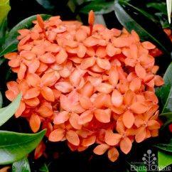 Ixora dwarf Orange. Brilliant tropical summer colour.