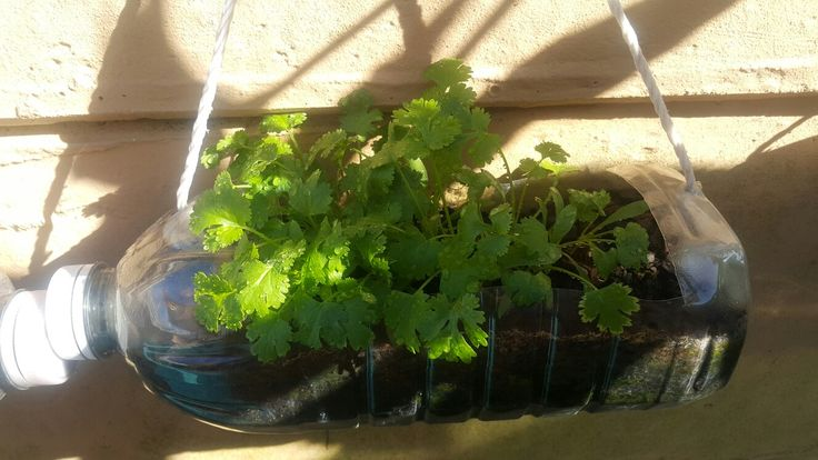 Coriander in recycled plastic bottle