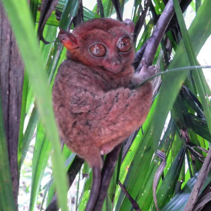 ...This is a tarsier. It is the smallest primate on the world.  I like how she is smiling at me even though I just woke her up. You can never predict a female!  This is some of what I learned at the Tarsier Sanctuary of the Philippines: - Tarsiers are the smallest primates in the world.  I was expecting small but seeing that they are barely larger than my fist was quite a surprise.  A monkey-like creature the size of your fist! - Even at that minute size they can jump as far as 5 meters…