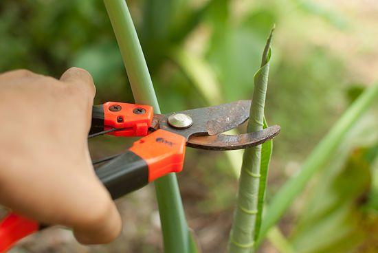 How to Grow Elephant Ear Plants: 16 steps - wikiHow