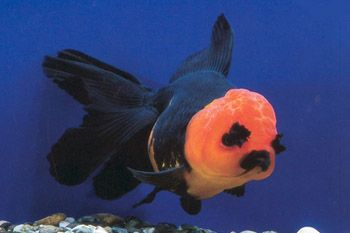 Red & black oranda--with eyebrows! next time i keep fancy goldfish i'm going to do a 90 gallon instead of a 60 and i'm going to buy a HUMONGOUS canister filter (instead of two giant wet/dry box filters) because these little cherubs really trash the water.