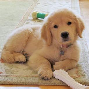 Golden Retriever puppy, Goose