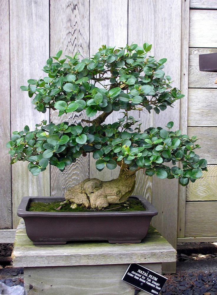 Miniature jade plant Bonsai