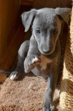 Get 20 whippets ideas on pinterest without signing up - Giftige zimmerpflanzen baby ...