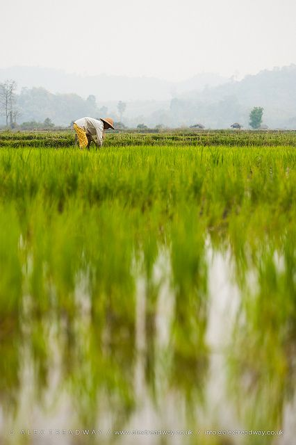 Rice paddies | A woman plants rice in paddies near Myitkyina… | Flickr