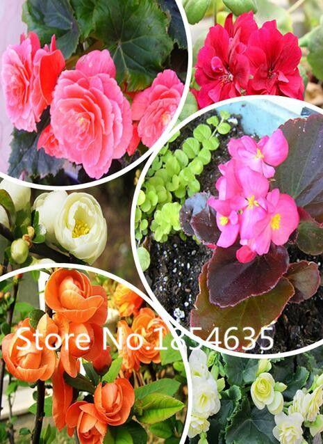 Семена цветов 300 шт. семена цветы В Горшках Розы Rieger бегония семена Бегония Бонсай семена Главная Сад Бесплатная доставка Цветов