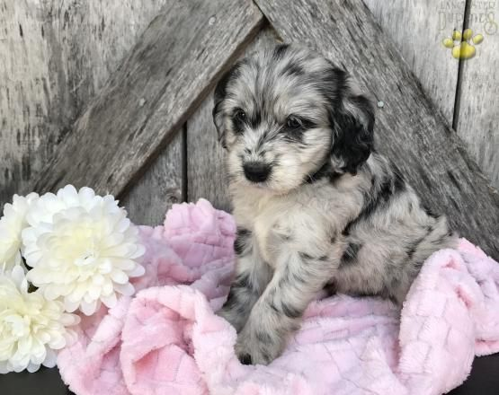 Gina Gorgeous Blue Merle Mini Goldendoodle Puppy For Sale In