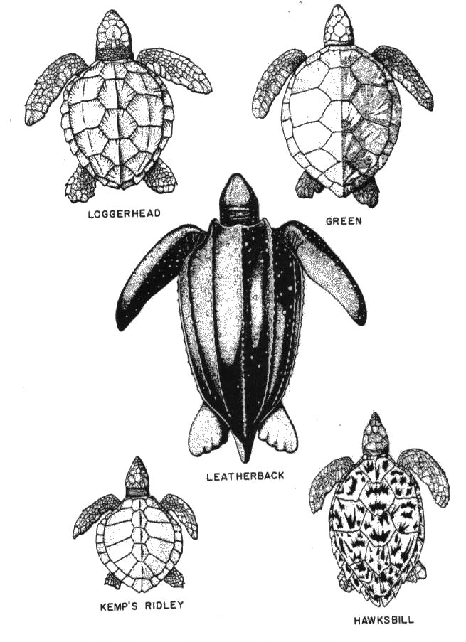Types of Sea Turtles found in Florida