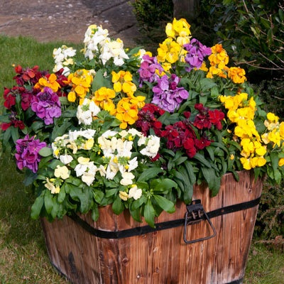 Wallflower Sugar Rush - plant these in the window boxes for Autumn colour