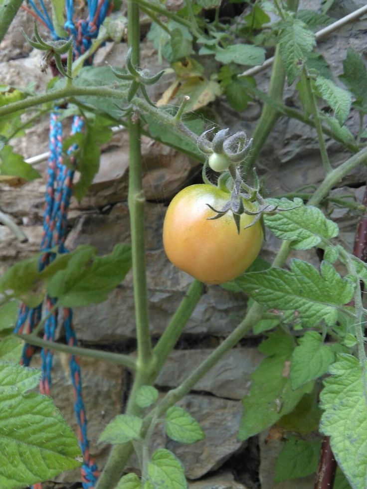 Tomates !!