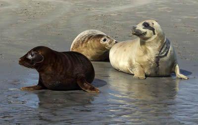 Het inmiddels beroemde zwarte zeehondje Happy werd op 18 april 2015 samen met twee andere zeehonden met een vissersboot vrijgelaten op een zandplaat in de Waddenzee bij Schiermonnikoog.
