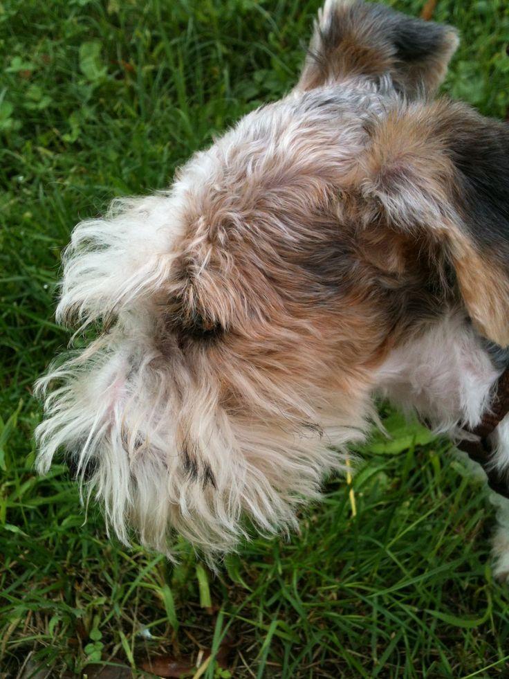 Fox terrier pelo ruvido Peggy