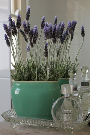 Potted Lavender for the bathroom