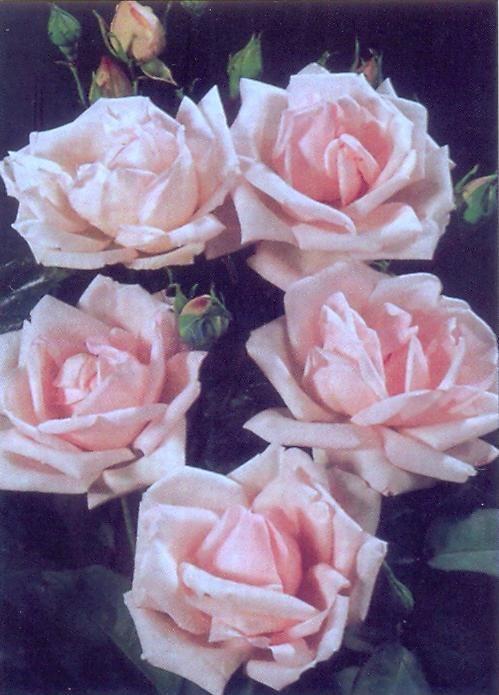 Сорт розы чайно-гибридной Огни Москвы. Внутренняя часть бутона нежно-розового цвета, внешние лепестки цветков бледно-бело-розовые, с высоким центром, крупные 6-7 см махровые. Цветение обильное, цветки надо своевременно удалять, чтобы куст не потерял декоративности. Сорт зимостоек.
