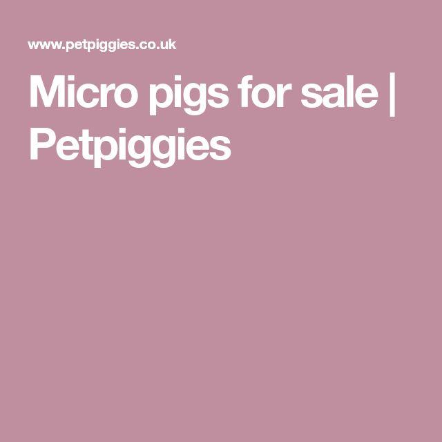 Micro pigs for sale | Petpiggies