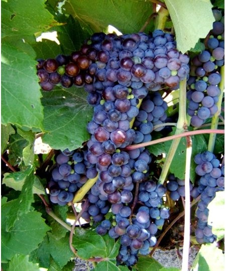 117 Best GROWING GRAPES Images On Pinterest