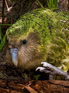 Kakapo - heaviest parrot in the world. Too heavy to fly!