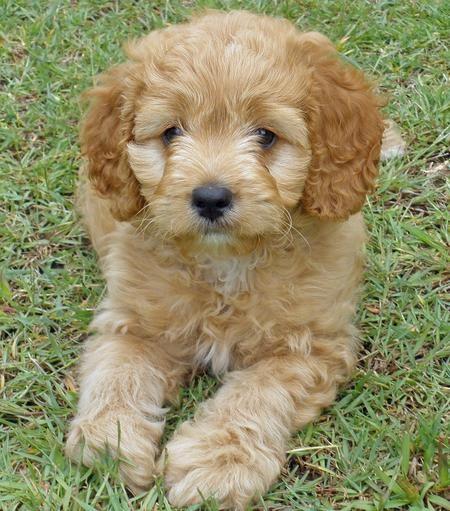 Cocker spaniel poodle mix! Animals♥ Pinterest