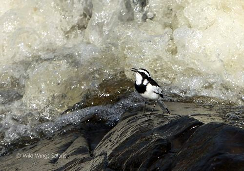 African pied wagtail.   #Kruger National Park