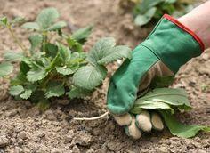 Уход за клубникой после сбора урожая