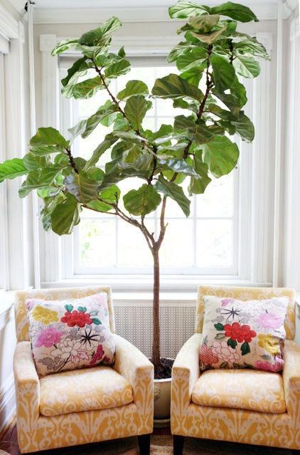 fiddleleaf fig ... indoor tree....