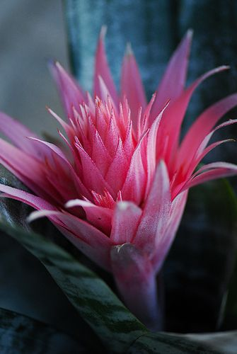 The Bromeliaceae (the bromeliads) are a family of monocot flowering plants of around 3,170 species native mainly to the tropical Americas, with a few species found in the American subtropics and one in tropical west Africa, Pitcairnia feliciana.