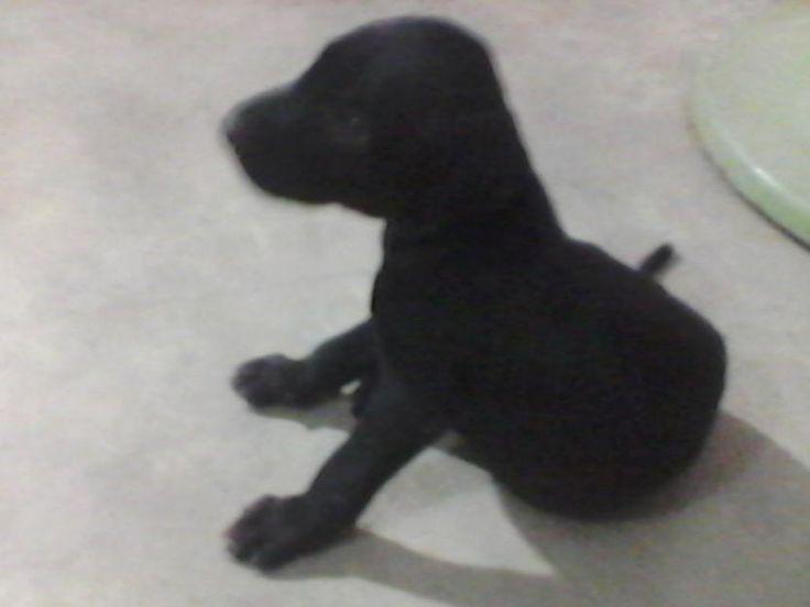 3 weeks labrador pup for sale Karachi for more information visit our site post free ads pakistan.