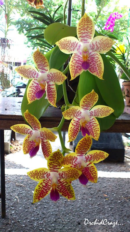 OrchidCraze: Taiping Monthly Orchid Show September 2012