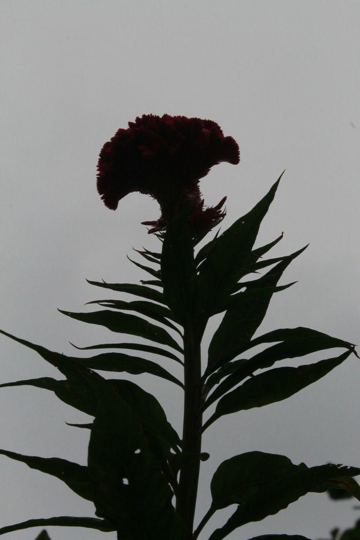 SHAPE  Ternyata, riang dan lembutnya sang bunga berubah seketika tatkala awan abu datang.   Canon EOS 1100D | f/22 | 1/2000 sec. | ISO-800 | 55 mm | Metering mode: Pattern | No Flash, compulsory