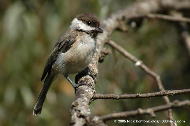 Πουλιά της Ελλάδας - Κλειδωνάς - Parus lugubris