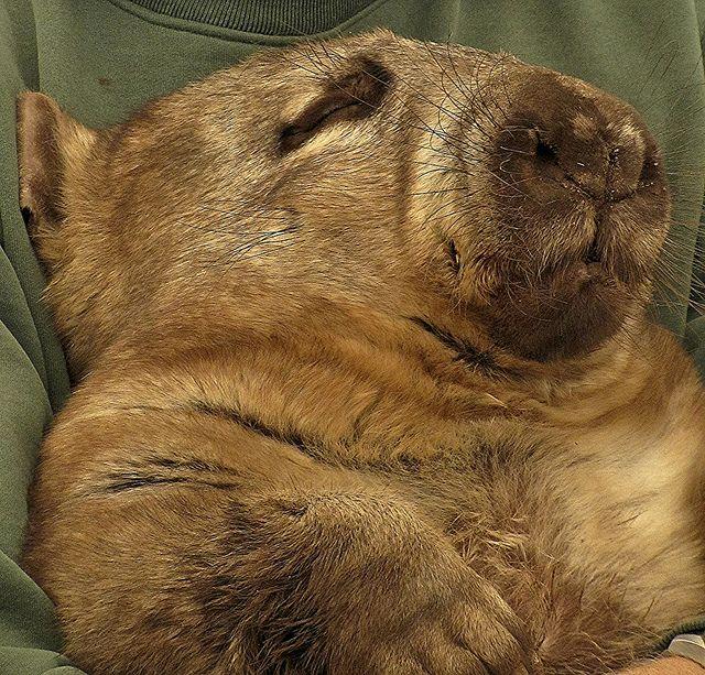 Neil the Wombat relaxing at Caversham Wildlife Park, Western Australia