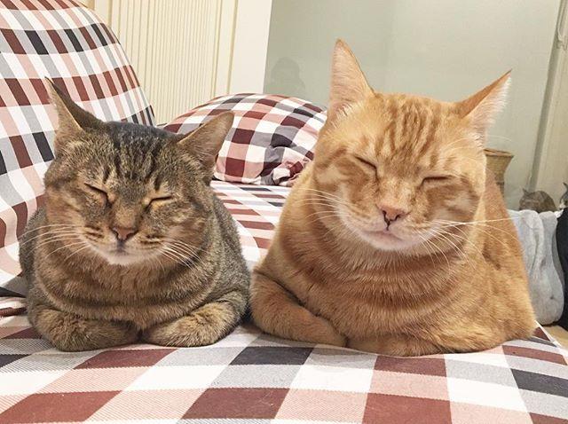 _ 仲良しこよし #猫 #愛猫 #保護猫 #ねこのきもち #トラ猫 #キジ猫 #動物愛好家 #雌猫 #雄猫 #ニコイチ #cats #animals #happy #癒し系 #instagood #猫部 #野良猫 #ねこ #にゃんこ #ねこ部 #暮らし #リビング . _