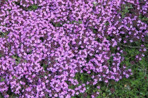 Scharlachroter Feld-Thymian 'Coccineus' - Thymus serpyllum 'Coccineus'