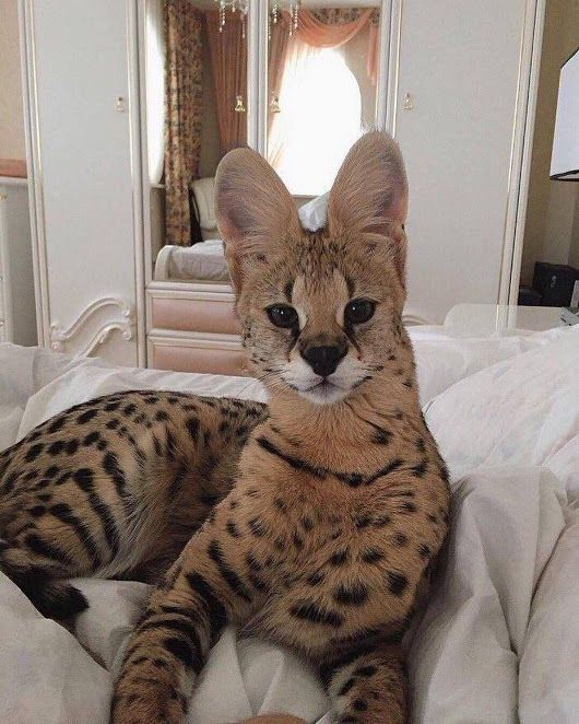 This is a Serval (a 30lb cat from Africa that mostly eats rodents and  birds)...