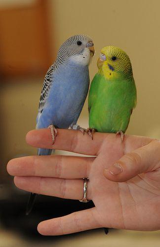 Parakeets by audubonimages, via Flickr