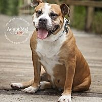 Pictures of Clea! Loves Kids! a Boxer/Bulldog Mix for adoption in New York, NY who needs a loving home.