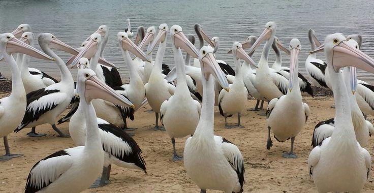 San Remo Pelicans, Victoria, Australia