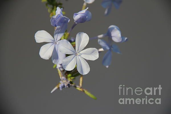 Blue spring flower- photography for prints & posters
