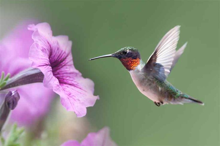 105 best Hummingbirds and other birds images on Pinterest