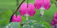 How to Divide Bleeding Hearts Plants-fall?