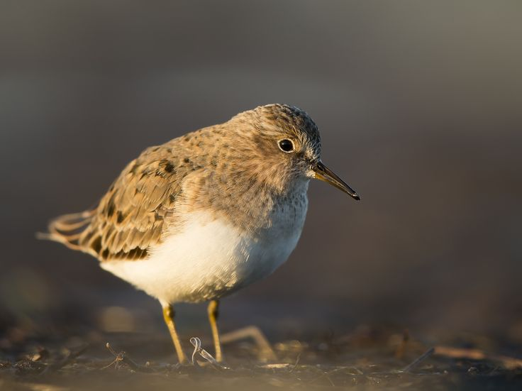 A temminick stint that almots walked into my lense last summer on Gotland.